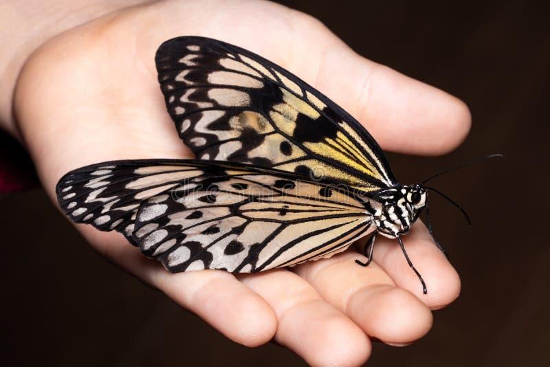 Slut upp fjäril på kvinnahanden Skönhet av naturen arkivfoton