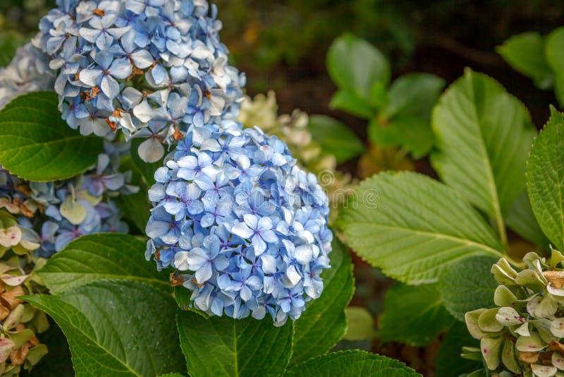 Slut upp fotoet av den purpurfärgade vanliga hortensian royaltyfri foto