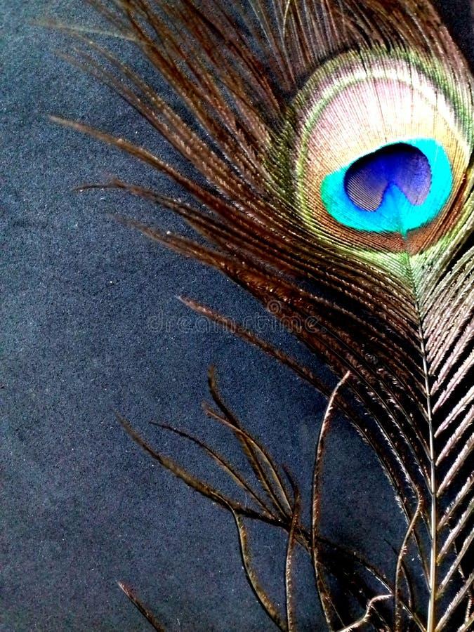 Slut upp fotoet av en påfågelfjäder, på en svart bakgrund royaltyfria bilder
