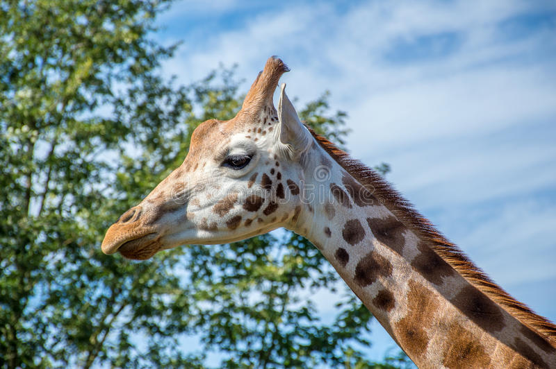 Slut upp fotoet av en Rothschild giraff arkivbilder