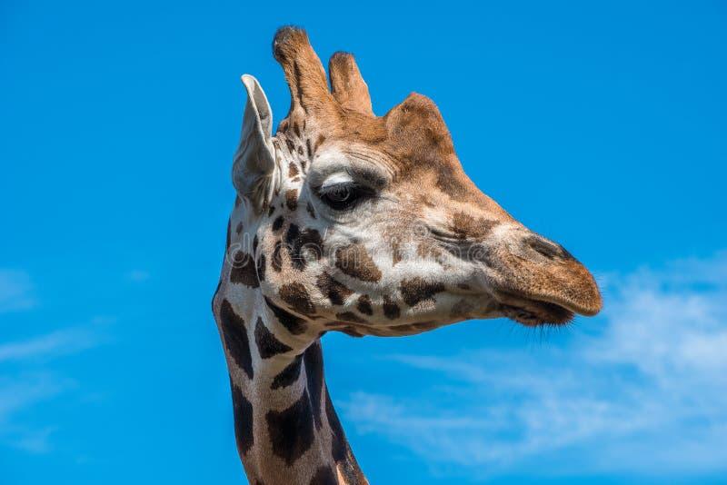 Slut upp fotoet av en Rothschild giraff royaltyfri foto