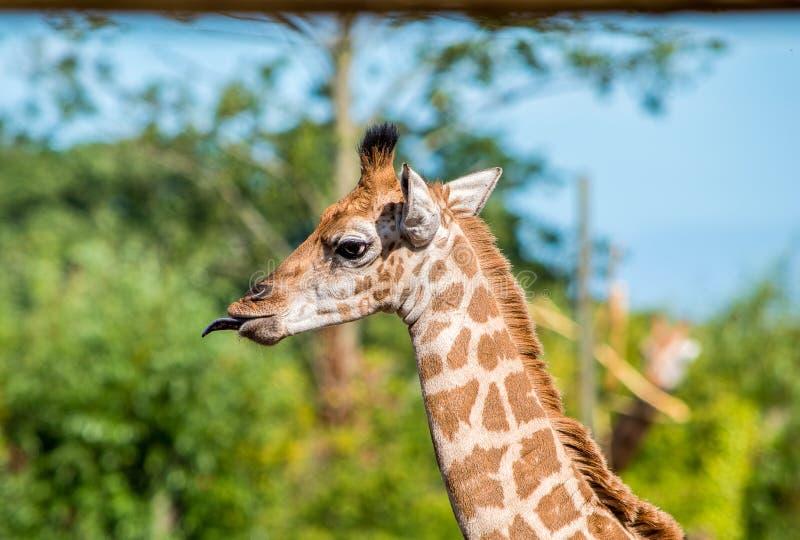 Slut upp fotoet av en Rothschild giraff arkivbild