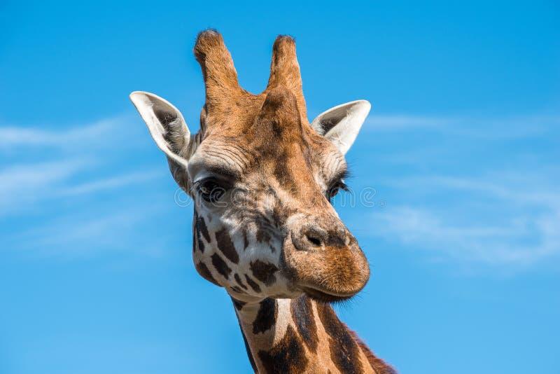 Slut upp fotoet av en Rothschild giraff arkivfoto