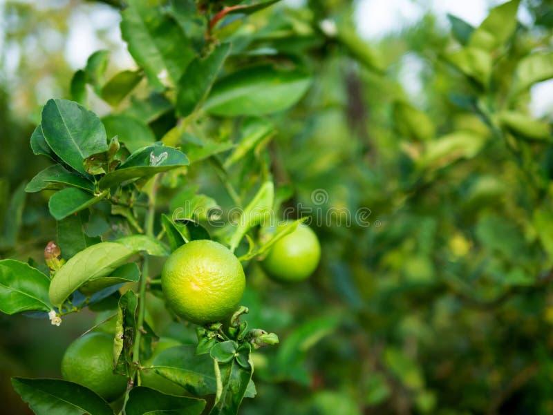 Slut upp grön limefrukt på stammen fotografering för bildbyråer