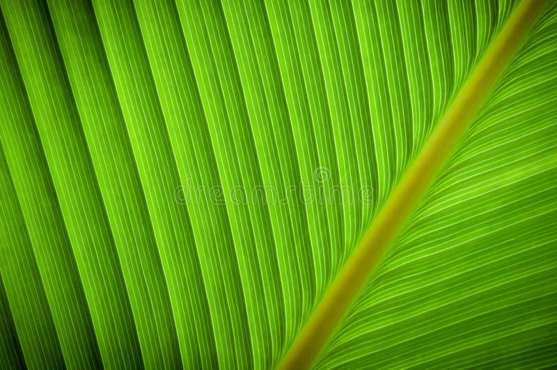 Slut upp gröna tjänstledigheter, palmbladbakgrund Tropiskt naturligt modellgräsplanblad för tapet, modelldetalj eller abstrakta t arkivbilder