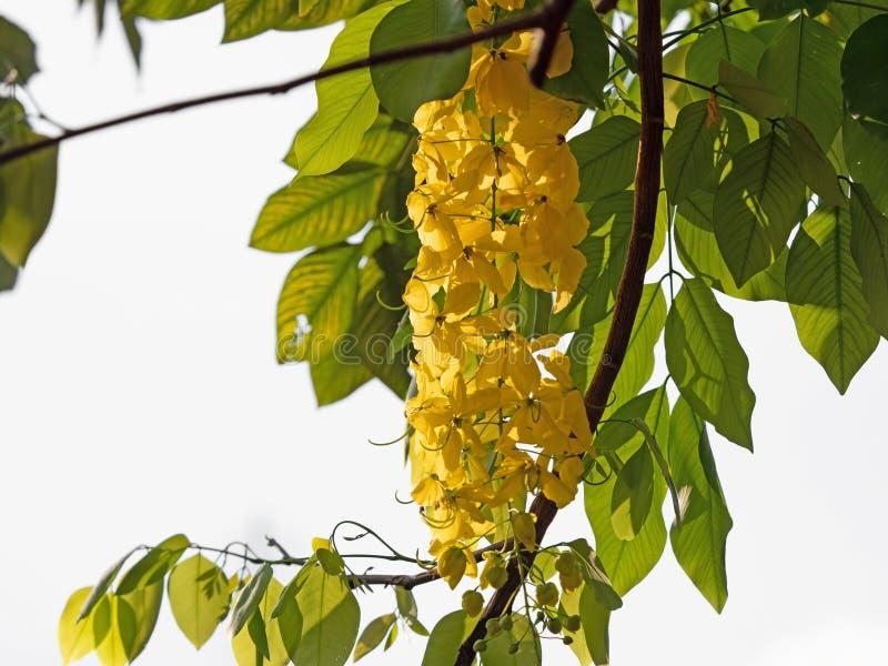 Slut upp gula blommor av trädet för guld- regn med gröna sidor royaltyfria bilder