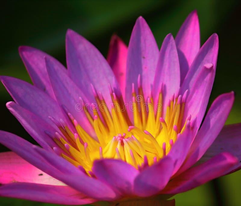 Slut upp härlig enkel blommande purpurfärgad lotusblomma arkivfoto