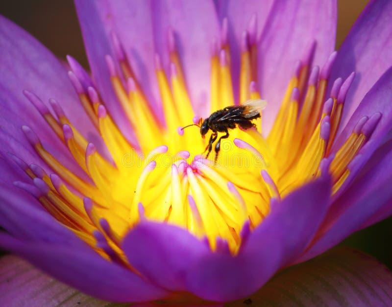 Slut upp härlig enkel blommande purpurfärgad lotusblomma arkivbilder