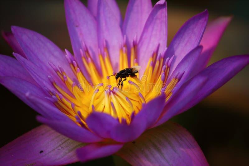 Slut upp härlig enkel blommande purpurfärgad lotusblomma royaltyfria foton