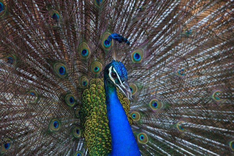 Slut upp härligt av ursnyggt av den indiska påfågelfantailfjädern royaltyfri foto