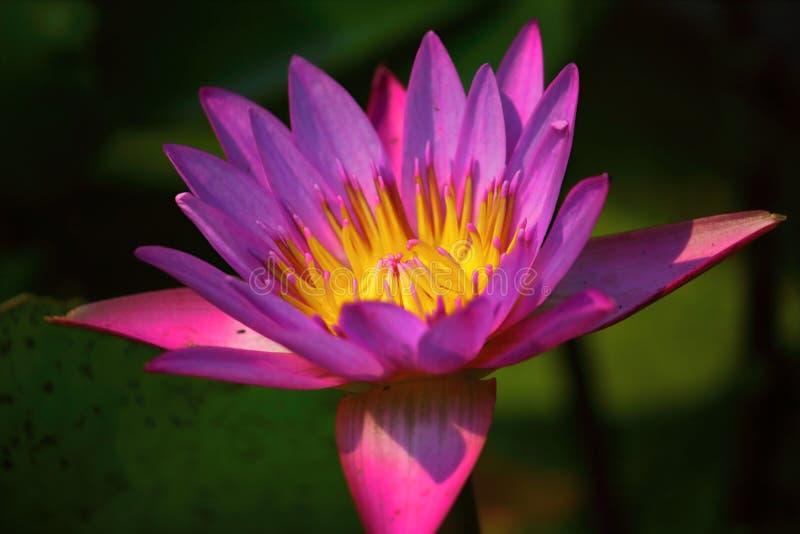 Slut upp h?rlig enkel blommande purpurf?rgad lotusblomma royaltyfri fotografi