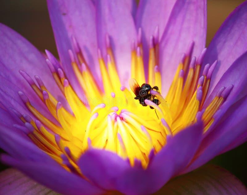 Slut upp h?rlig enkel blommande purpurf?rgad lotusblomma arkivfoton