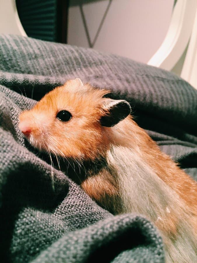 Slut upp hamster royaltyfri bild