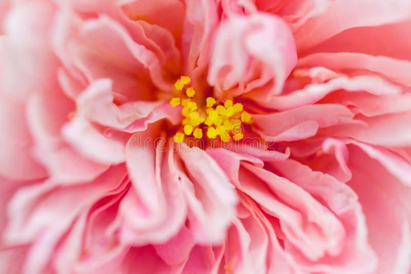 Slut upp hjärta av den rosa hibiskusblomman royaltyfria bilder
