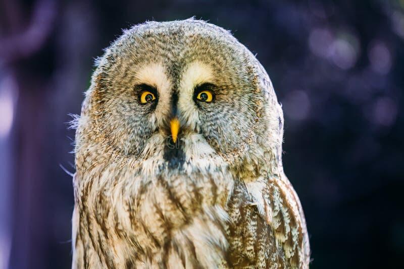 Slut upp huvudet, framsida av stora Grey Owl Or Great Gray Owl Strixnebulosa arkivbild