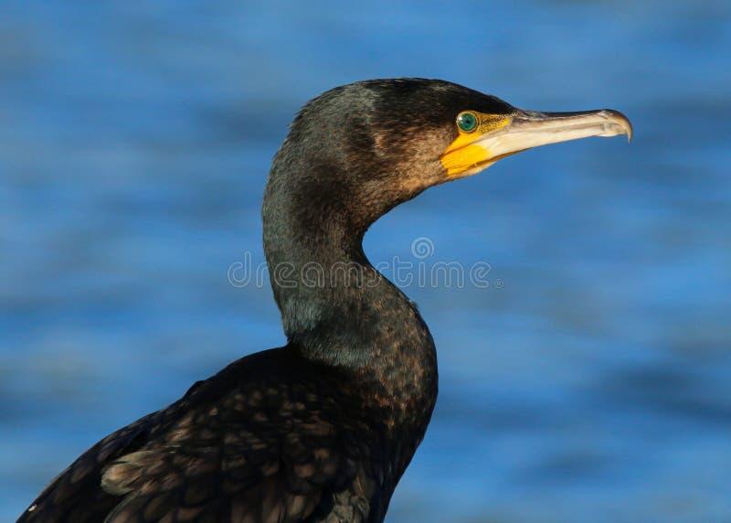 Slut upp huvudet och skuldror av en vuxen kormoranPhalacrocoraxcarbo royaltyfri foto