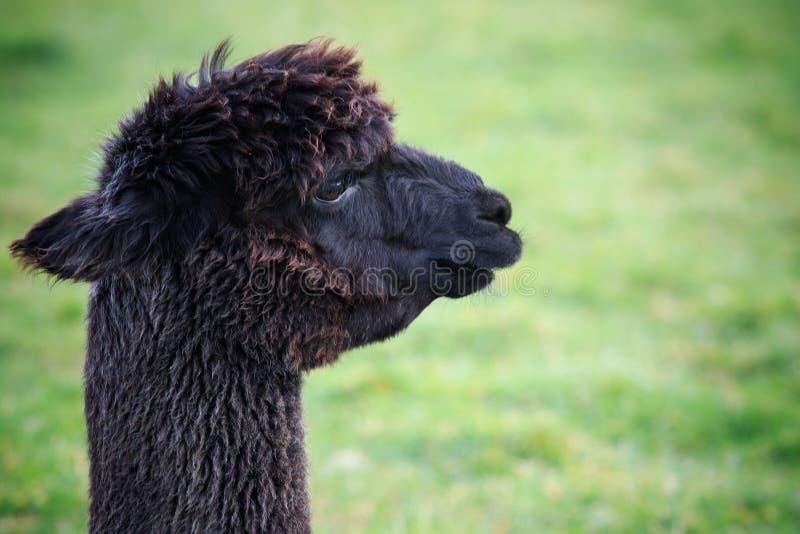 Slut upp huvudskott av svart pälsalpaca på grönt fält arkivfoto