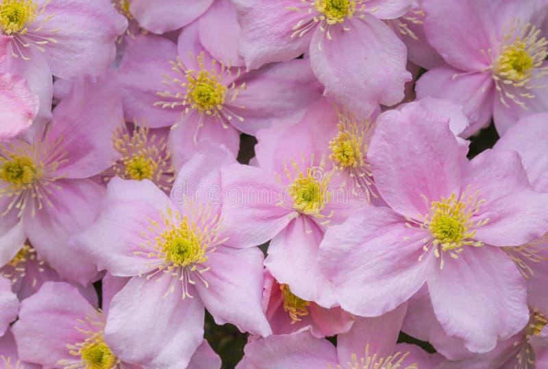 Slut upp klematins Montana Pink Perfection royaltyfria foton