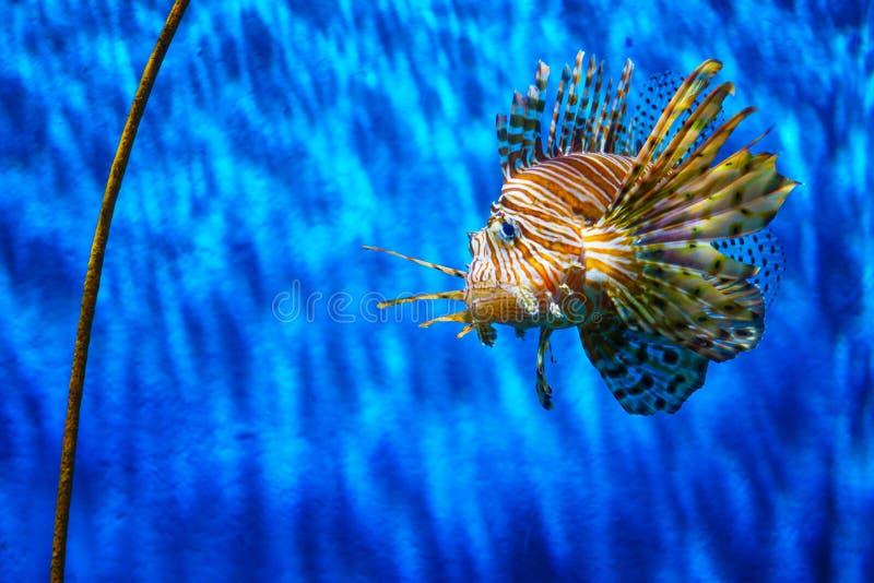 Slut upp lejonfisk i akvarium med blå bakgrund arkivbilder