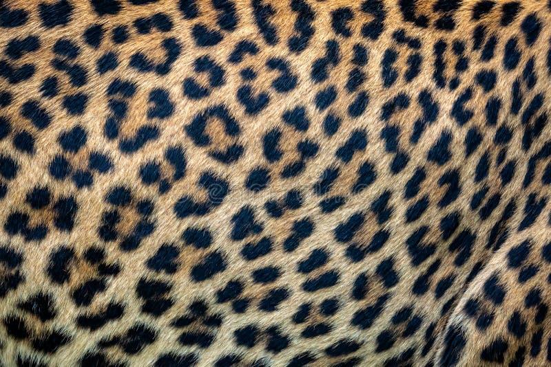 Slut upp leopardpälsbakgrund Textur för Ceylon leopardhud arkivbild