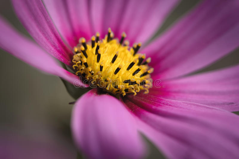 Slut upp livlig signal för rosa färgblommakosmos fotografering för bildbyråer