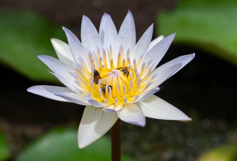 Slut upp Lotus Flower med biet som isoleras på bakgrund royaltyfri fotografi