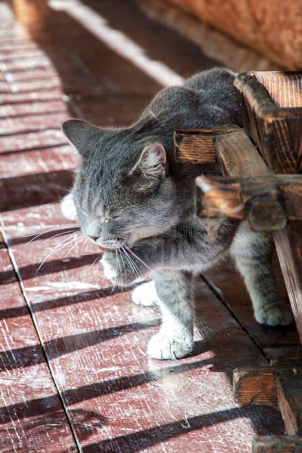 Slut upp, makro St?ende av den brittiska kattungen Grå fluffig ull, gula ögon Katten tvättar sig efter frukost på sol-gjord genom royaltyfria bilder