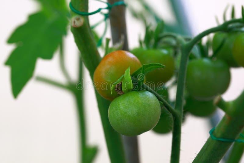 Slut upp makrosikt av körsbärsröda tomater som får mogna sund begreppsmat härlig gjord naturvektor för bakgrund fotografering för bildbyråer
