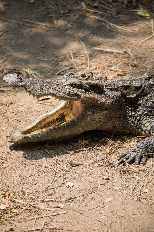 Slut upp mat för öppen mun för krokodil väntande på arkivfoton