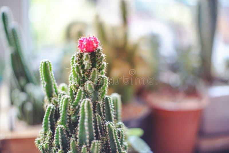 Slut upp mini- Ruby Ball Cactus Moon Cactus med suddig bakgrund royaltyfri bild