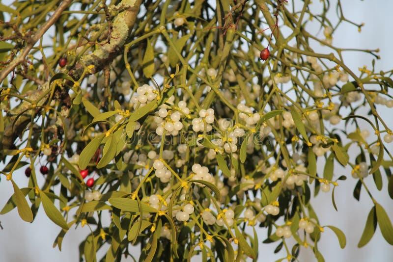 Slut upp mistel på vita och röda bär för träd, arkivbilder