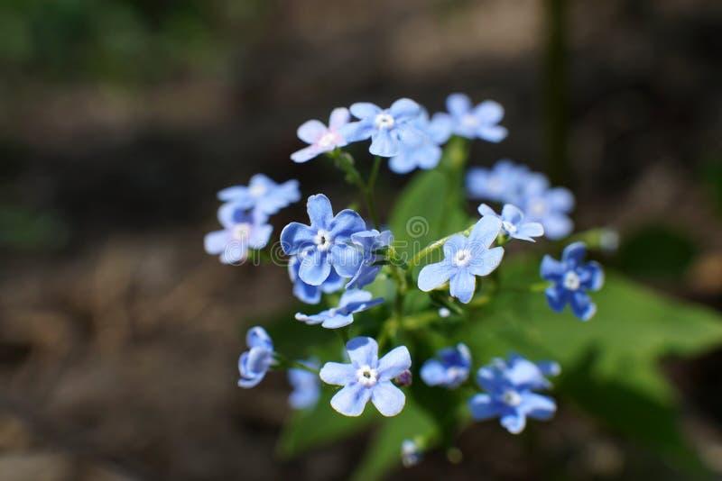 Slut upp Myosotis Ljus - blått glömmer mig inte blommor arkivbilder