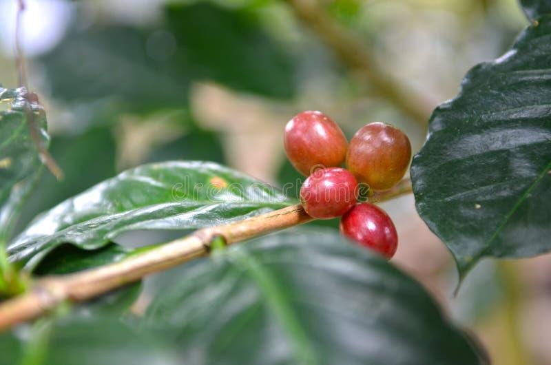 Slut upp nya kaffebönor royaltyfri foto