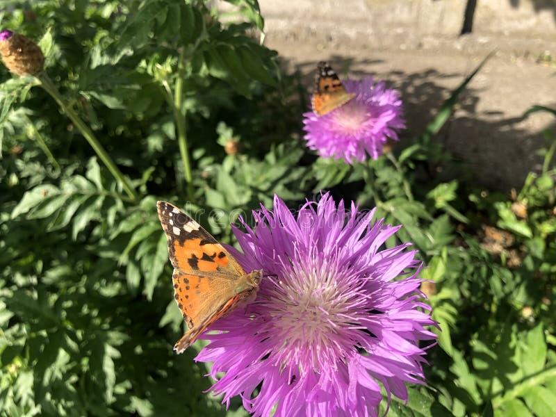 Slut upp Nymphalisurticaefjäril på den violetta blomman arkivfoto