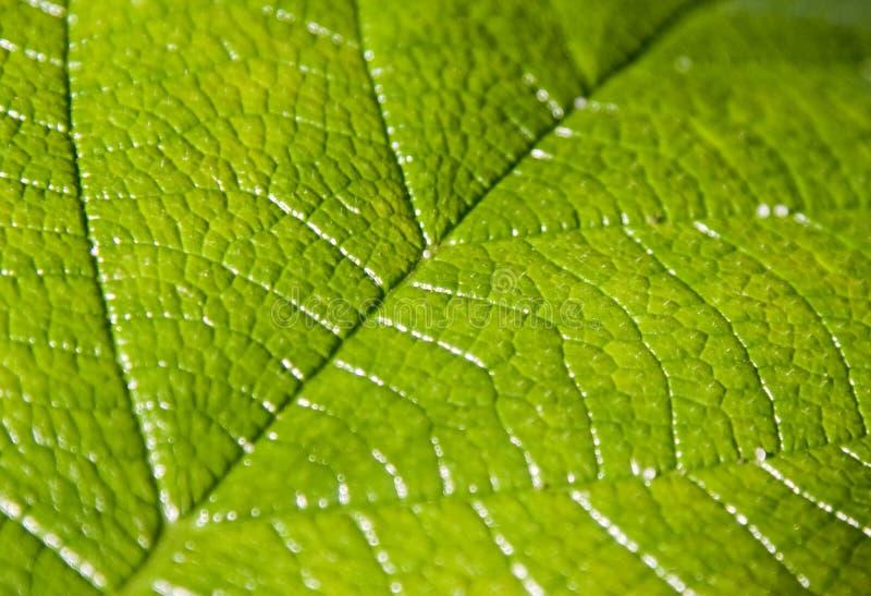 Slut upp på den gröna leafen arkivbild