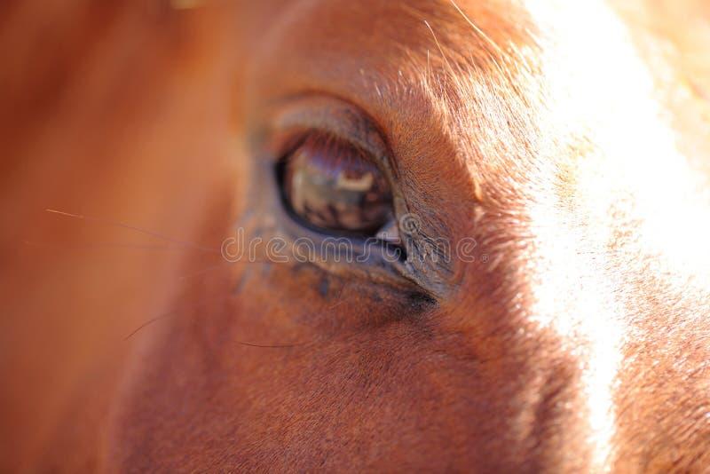 Slut upp på hästöga fotografering för bildbyråer