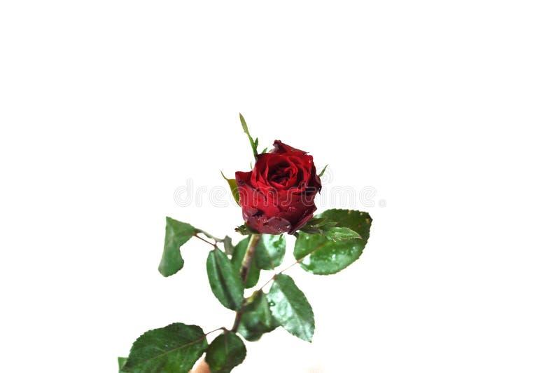 Slut upp på röd ros royaltyfria foton