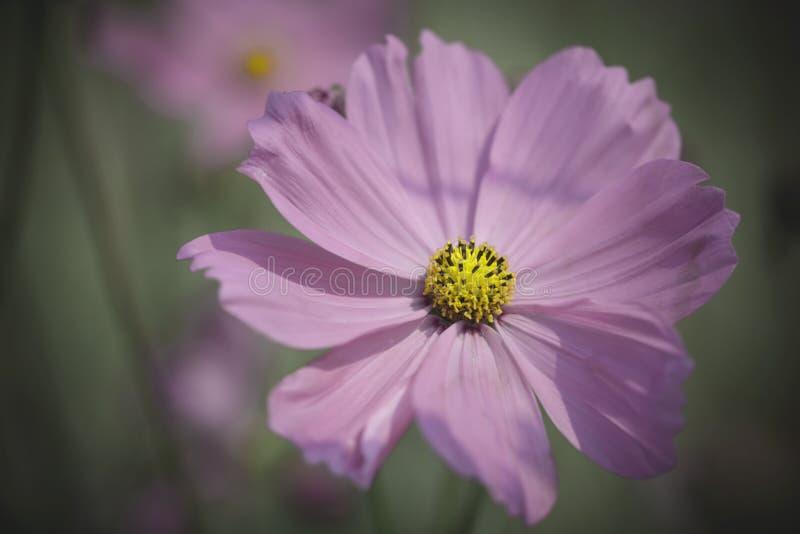 Slut upp pastellfärgad signal för rosa färgblommakosmos royaltyfri fotografi