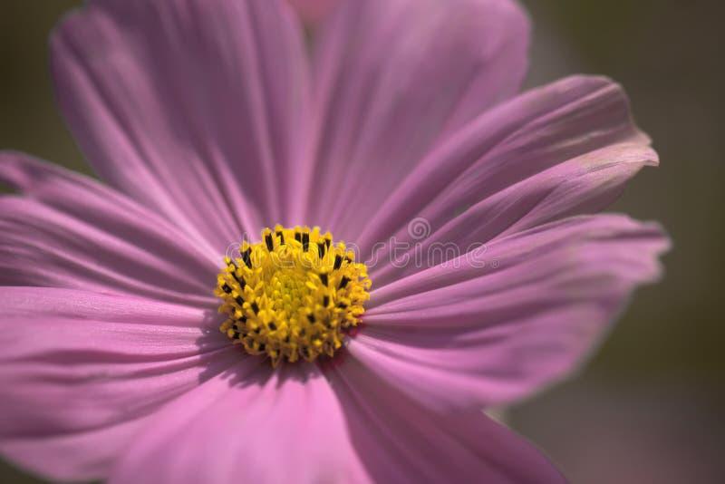 Slut upp pastellfärgad signal för rosa färgblommakosmos royaltyfri bild
