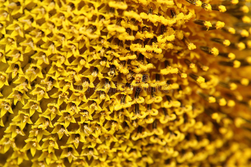 Slut upp pollensolrosen royaltyfria foton