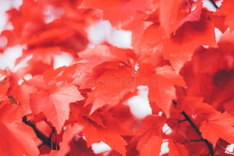 Slut upp röda lönnlöv royaltyfria foton