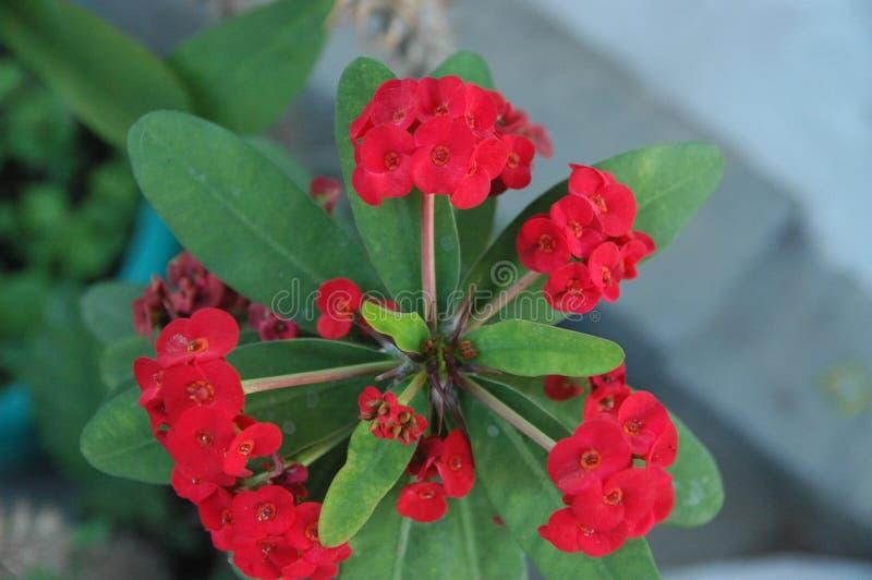 Slut upp röda rosor, röda blommor och grönt bladideal för bakgrund royaltyfri bild