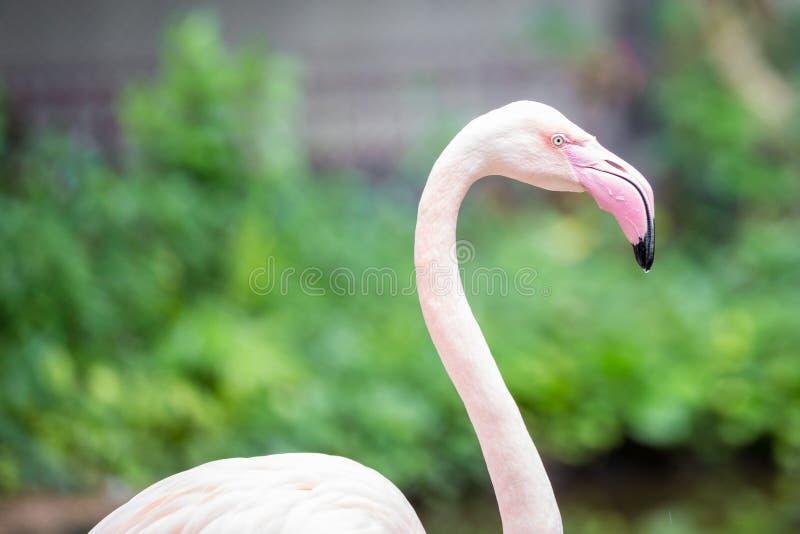 Slut upp rosa flamingo royaltyfria bilder