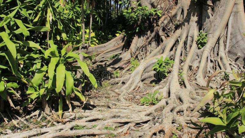 Slut upp sakralt fikonträdskäll och att rota med gröna sidor royaltyfria foton