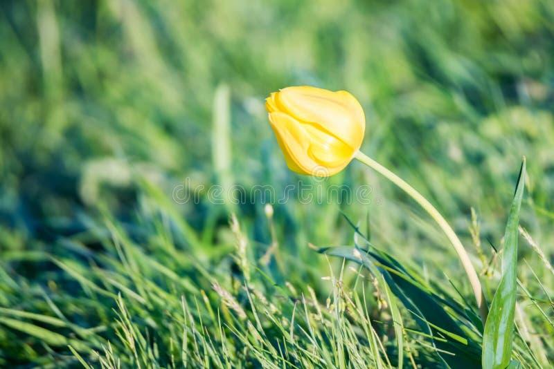 Slut upp Schrencks schrenkii f?r tulpan- eller TulipaTulipa i st?ppen arkivbild