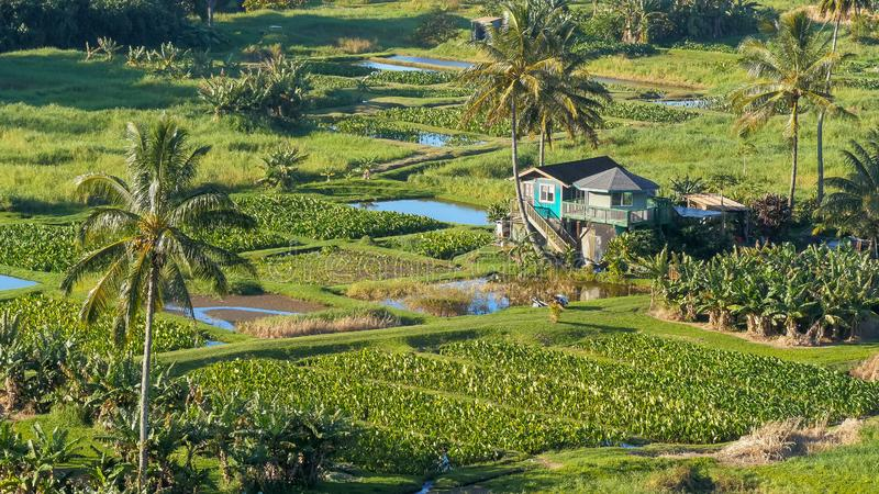 Slut upp sikt för hög vinkel av tarofält på keanaehalvön på vägen till hana royaltyfri fotografi