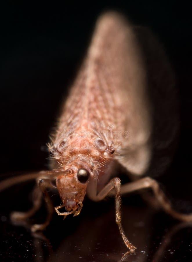 Slut upp ståenden av den bruna lacewingen (micromusen) arkivfoton