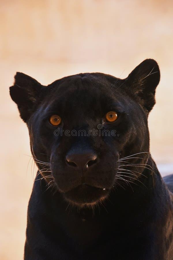 Slut upp ståenden av den svarta jaguar; Pantheraonca fotografering för bildbyråer