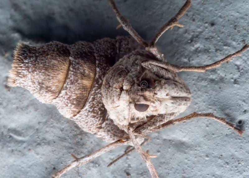 Slut upp ståenden av den vinglösa kvinnliga nedgångCankerworm malen på blått arkivfoton