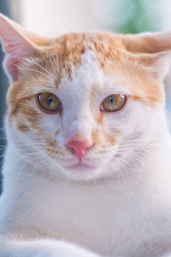 Slut upp ståenden av den vita katten royaltyfri fotografi